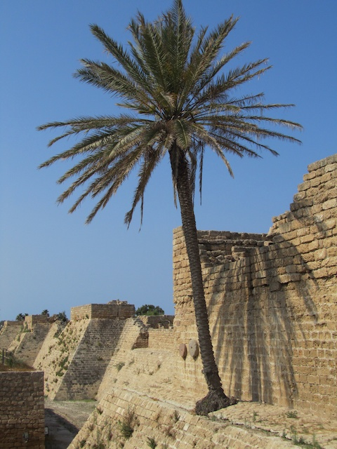 Bush Date Palm Caesarea 051912 3