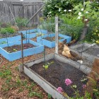 chickens raised beds
