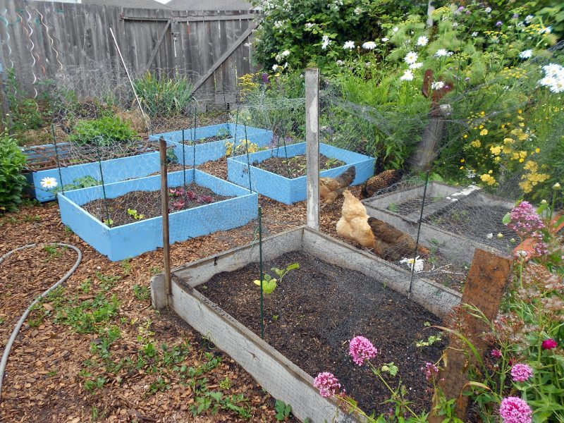 Chickens Vs Vegetable Beds Round Two Garden Rant