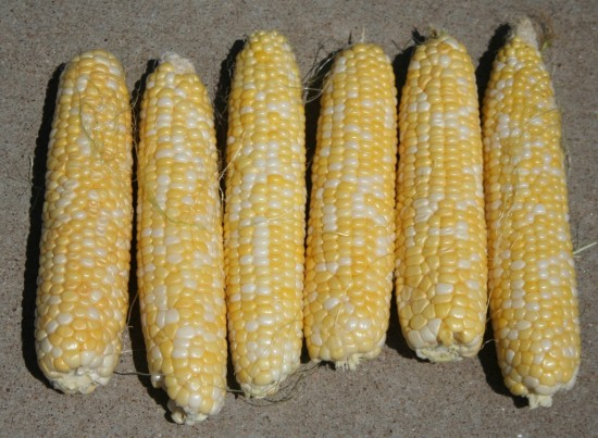 comp shucked corn072212 (15)