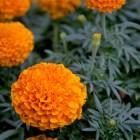 shutterstock_110845106 black marigold
