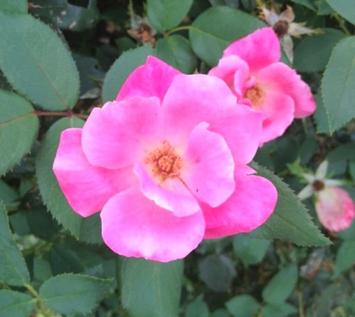Rosa-Else-Poulsen-Evergreen-Cemetery-Rose-550x733