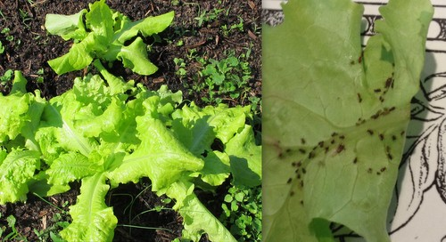 My lettuce looking great in the garden, looking bug-laden in the kitchen.