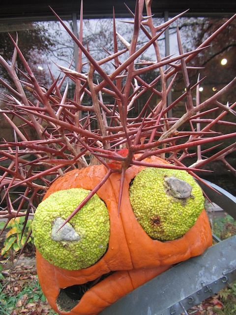Pumpkin, osage orange, honey locust crown of thorns at Bernheim Arboretum and Research Forest Clermont, KY 102811 3
