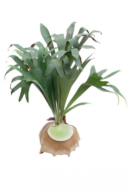 Staghorn fern via Shutterstock