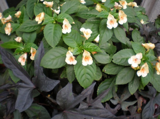 Fusion impatiens are also prone to the mildew.