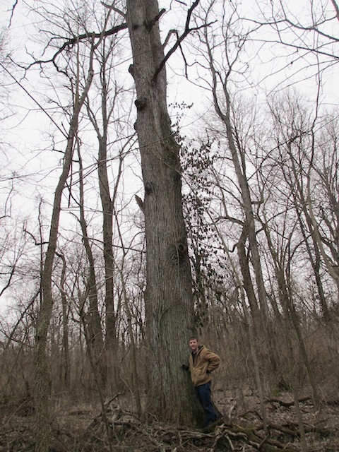 New-State-Champion-Kentucky-Coffeetree-March-2013-Schmitz-and-Carstens-photo