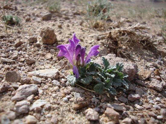 PK Scutellaria Mongolia 025