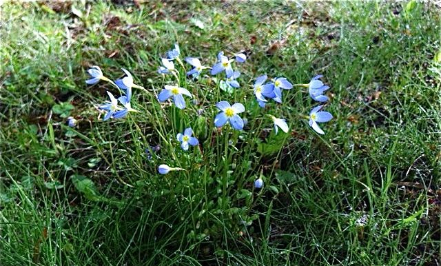 Bluets in the lawn.