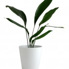 Aspidistra image courtesy of Shutterstock