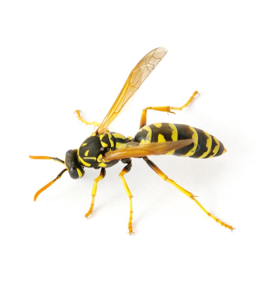 wasp shutterstock_125558051