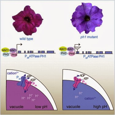 petunia research article Faraco et al 2014