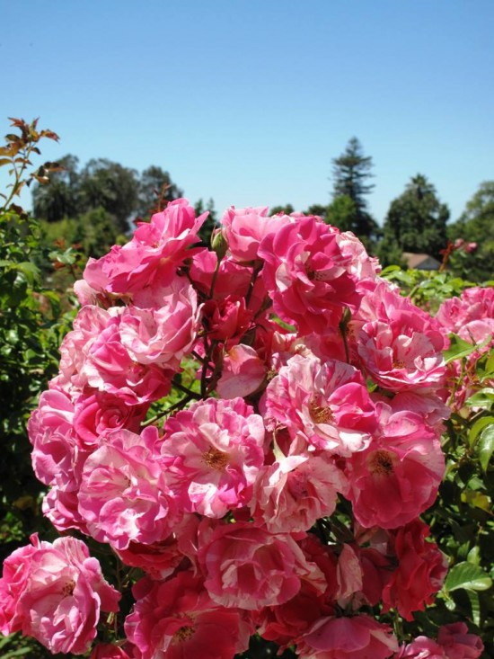 Beautiful (and fragrant) farm-grown roses for the hungry wedding market, grown by Rose Story Farm in Carpinteria, California.