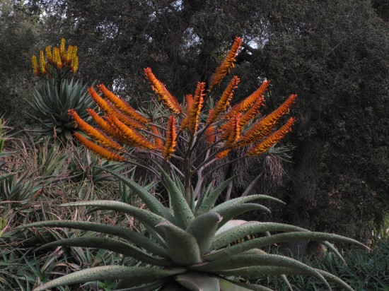 this Aloe marlothii is the stuff of which my plant geek dreams are made