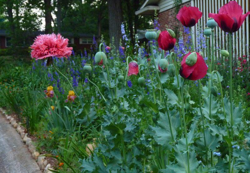 Front yard garden plants - Early Morning Poppy Scene In A Friend S Charlotte Garden