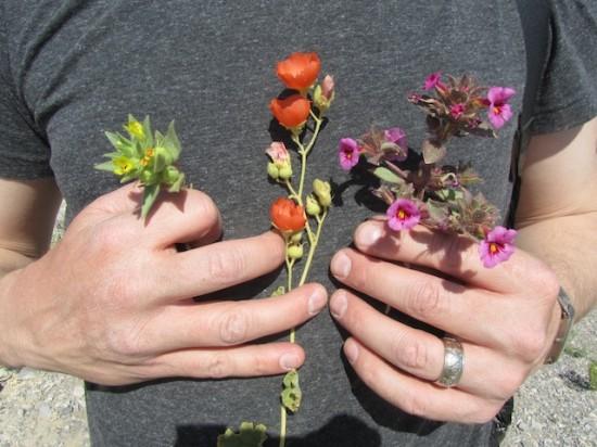 Shannon Still bouquet with Mohavea brevifolia, Sphaeralcea ambigua and Mimulus bigelovii.