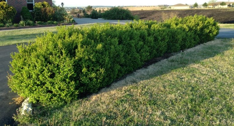 Landscape Bushes With Odor : Boxwoods bah garden rant
