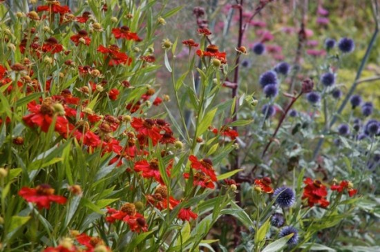 "Helenium 'Rubinzwerg"" and Echinops ritro 'Veitch's Blue' Free Spirit photo"