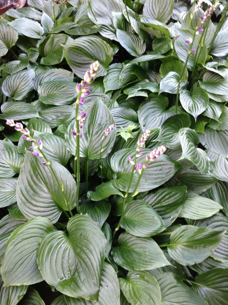 Unknown hosta