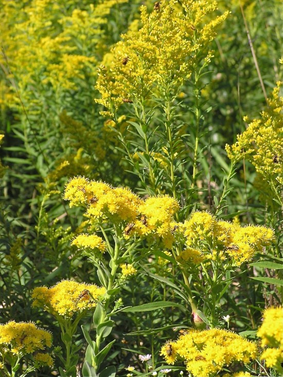 Stiff goldenrod is a mounding plant, unlike many other members of its species. The goldenrods attract birds in summer as well as winter, by offering a smorgasbord of insects for them to eat.