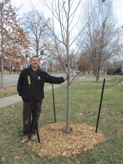 Bert Eisenback of Louisville Metro Parks with newly planted tulip poplar on Eastern Parkway.