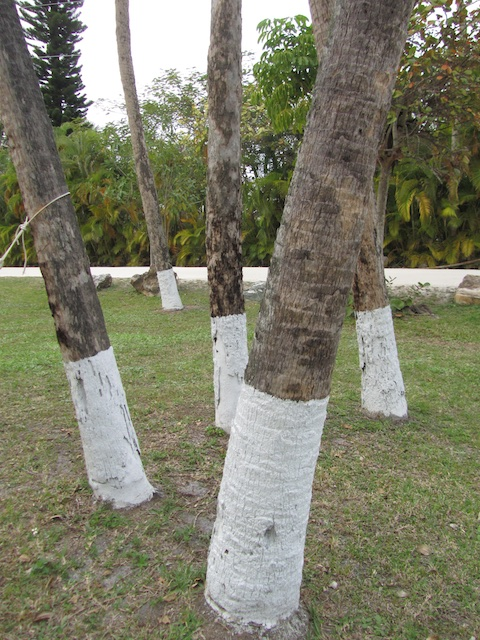 Whitewashed tree trunks the unvarnished story garden rant - White painted tree trunks ...