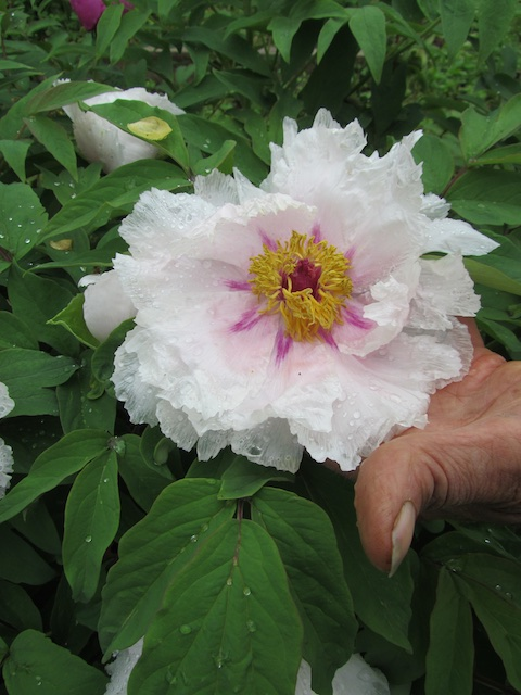 Adam Turtle's Mudan Gansu-type tree peony seedling.