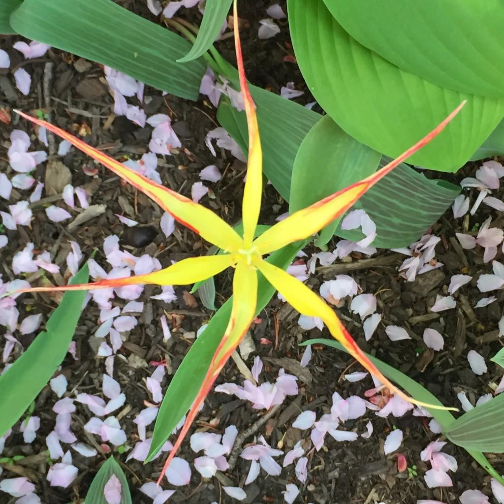 T. acuminata