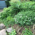 Solomon's Seal, ferns, and wood anemone in a TO front garden