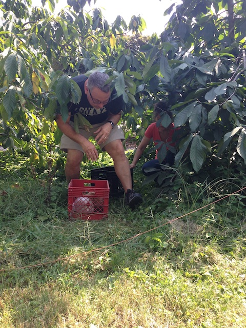 Dan Busch pickin' up pawpaws at the St. Peter Claver Community Garden. Therese Busch photo.