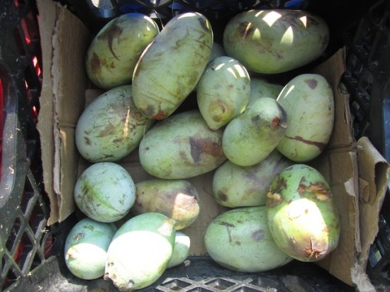 Pawpaws box St Peter Claver 082915