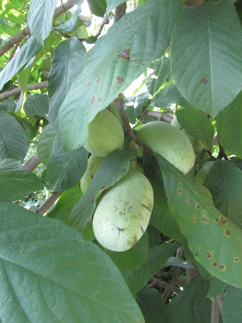 Pawpaws, workshop, St. Peter Claver garden 082915