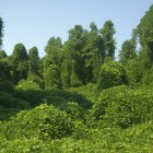 Kudzu image courtesy of Shutterstock
