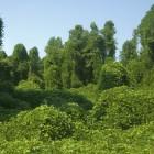 Kudzu image courtesy of Shutterstock