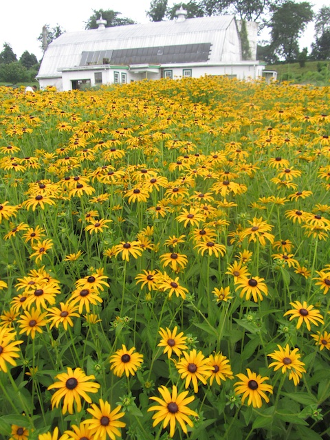 "Rudbeckia deamii. ""...Find it, buy it."""