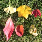Unfair competition. Fall color contest between (top, L-R) gingko, tulip poplar, red maple and (bottom L-R) flowering dogwood, blackgum and common hackberry.