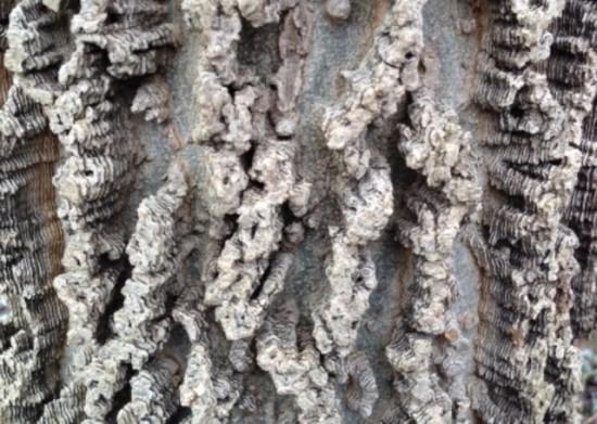 Distinctive bark of the common hackberry.