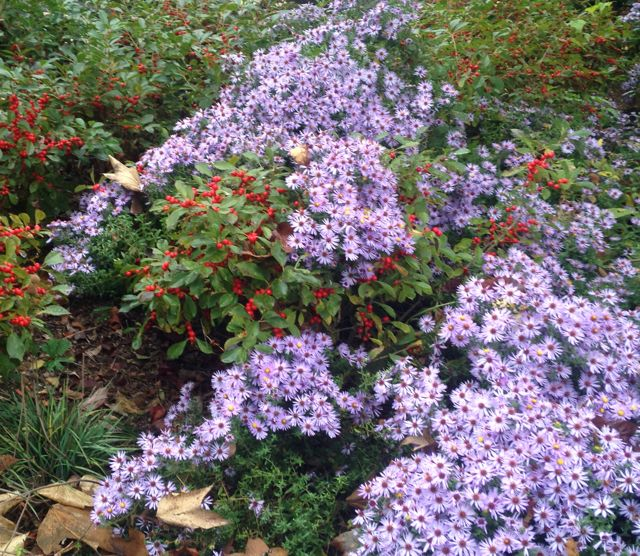 Asters with Winterberry Holly