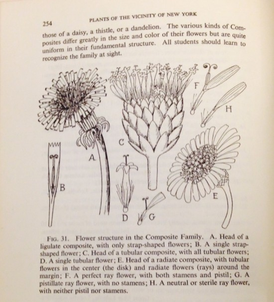 "Who woud guess that a ""ligulate composite, with only strap-shaped flowers"" means a dandelion"