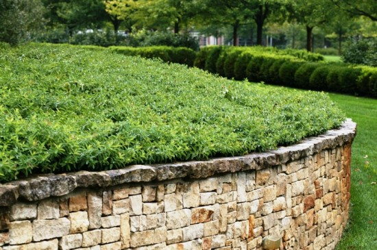 Groundcover of Hypericum calycinum at the beautiful gardens of the Indianapolis Museum of Art at a better time of year for viewing enjoyment.