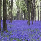 Bluebell wood image courtesy of Shutterstock