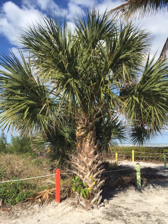 Cabbage palm, Sabal palmetto, on Sanibel Island, Florida.