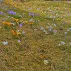 crocuses in lawn3