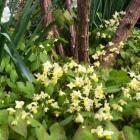 Epimedium x versicolor 'Sulphureum' with Narcissus 'Thalia'-imp