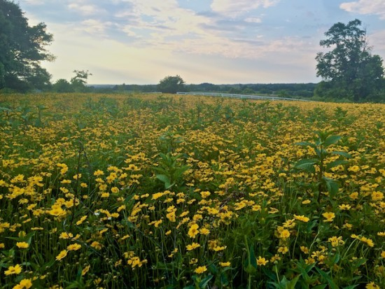 A meadow full of Coreopsis lanceolata at Shaker Village, Pleasant Hill, Kentucky.
