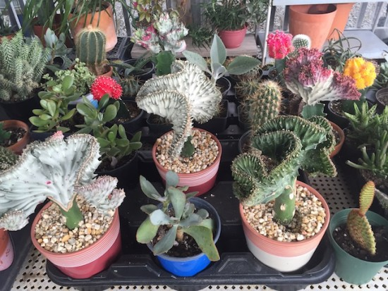 Norma's Cactus for Sale 071916