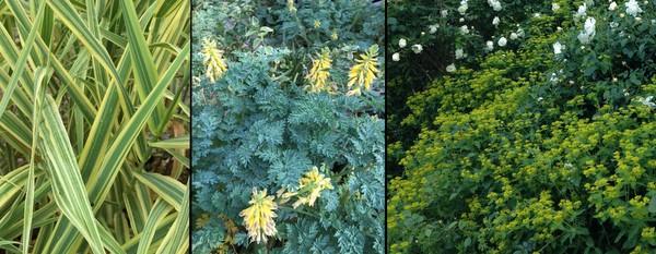 From left, Miscanthus, Corydalis, Euphorbia.