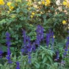 Salvia 'Victoria Blue'
