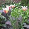Greigii tulip Mary Ann