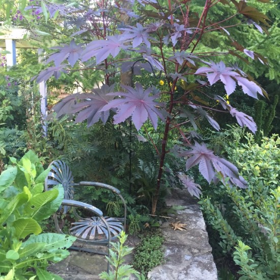 Castor bean, Ricinus communis, 'New Zealand Purple'.